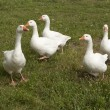 Interesting flock of white geese — Stock Photo #29180767
