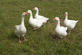 Interesting flock of white geese — Stock Photo