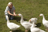 Pleasant flock of white geese — Stock Photo