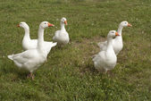 Beauteous flock of white geese — Stock Photo