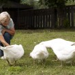 Fun flock of white geese — Stock Photo #29824495