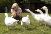 Fine flock of white geese — Stock Photo