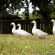 Lovely flock of white geese — Stock Photo