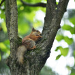 Red Squirrel on tree trunk — Stock Photo #48647097