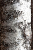 Birchbark — Stock Photo