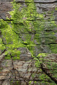 Green moss at cliff — Stock Photo