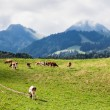 Swiss cows — Stock Photo