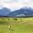 Swiss cows — Stock Photo #32406025