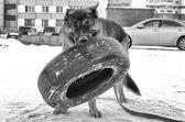 German shepherd training outside — Stock Photo