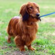 Stockfoto: Ginger red germbadger dog stands outside