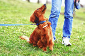 Ginger red german badger dog and his master — Stockfoto