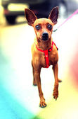 Brown Toy Terrier — Stock Photo