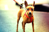 Brown Toy Terrier on the walk — Stock Photo
