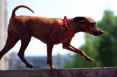 Brown toy terrier makes exercise — Stock Photo