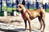 Brown Toy Terrier outside — Stock Photo