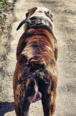 Back view of american bulldog — Stock Photo