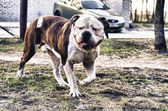 American bulldog running outside — Foto de Stock