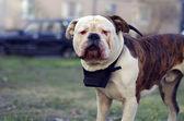 American bulldog looking at the camera — Stock Photo