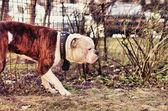 American bulldog smells bushes — Stock Photo