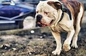 American bulldog walking outside — Stock Photo