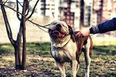 American bulldog on the leash — Stock Photo