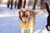 Beige Labrador Retriever — Stock Photo
