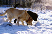 Two labradors sniffing the snow — Stock Photo