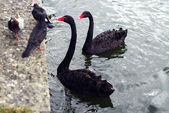 Two black swans and three pigeons — Stock Photo