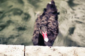 Black swan looking at camera — Stock Photo