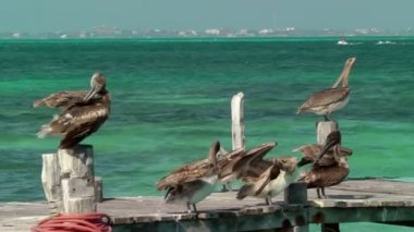 Group of pelicans preening on wooden dock with Caribbean ocean in background, Cancun, Mexico