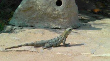 Iguana Sunbathing in Tulum — Stock Video #23601725