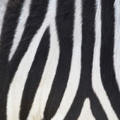 Stripes on Zebra — Stock Photo