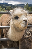 Cute Alpaca — Stock Photo