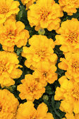 Marigold Flowers — Stock Photo
