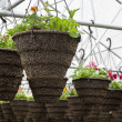 Pots of Annuals Hanging in Greenhouse — Stock Photo