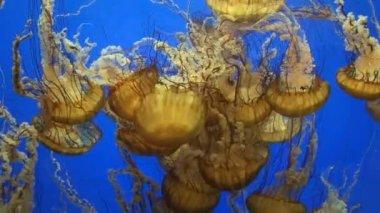Jellyfish — Stock Video