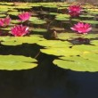 Koi and lily pads — Stock Video