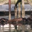 Watching the Sea Lions — Stock Video