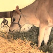 Stock Video: Young calf