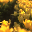 Tulip Field — Stock Video