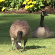 CanadiGeese — Stock Video #34324579
