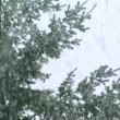 Stock Video: Snow Falling on evergreens