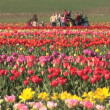 Tulip Field — Vídeo Stock