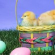 Easter Chicks — Stock Video