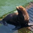 Sea Lions — Stockvideo