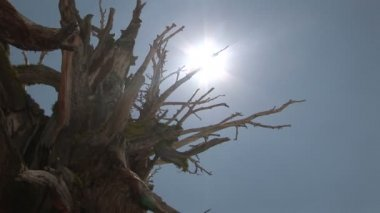 Sun Shining through Bristlecone Pine — Stock Video