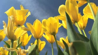 Yellow Tulips — Stock Video