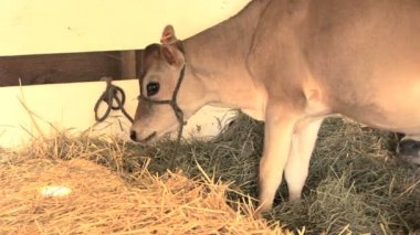Young calf — Stock Video