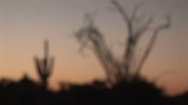 Ocotillo and Saguaro Cactus — Stock Video