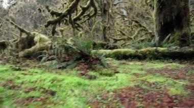 Big Cedar Tree — Stock Video